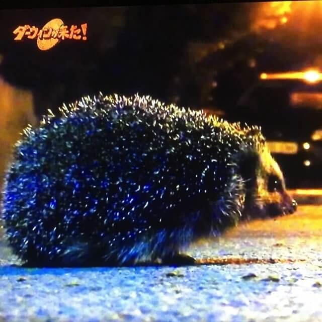 here comes darwin urban hedgehog special01